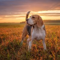 portrait of a beagle standing in the meadow in the sunset after the rain